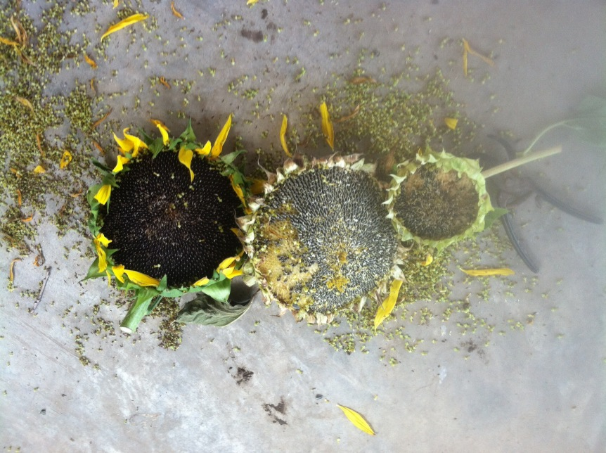 The Secret to Saving Sunflower Seeds